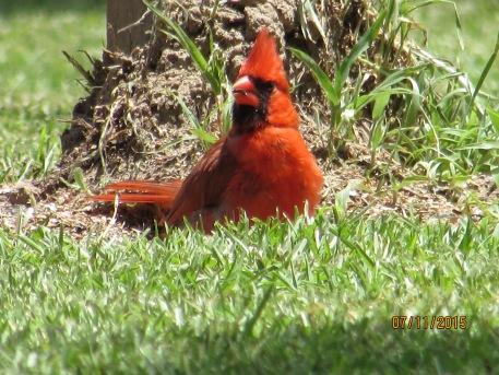 Chill Cardinal