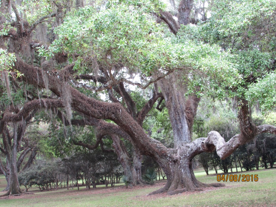 Beautiful live oak