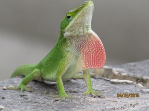 Anole on the prowl