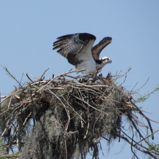 Osprey on the nest