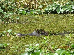 Basin Gator