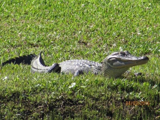 Happy Jungle Gator