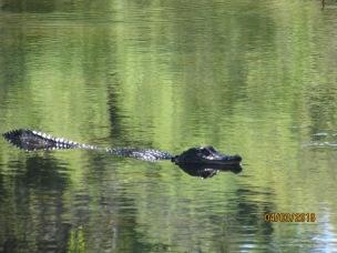 Happy Swim Gator