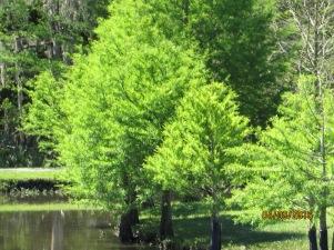 Little Cypress
