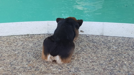 Porgy my Corgi chillin' poolside