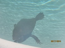 A displaced visitor in the pool 8/20/16